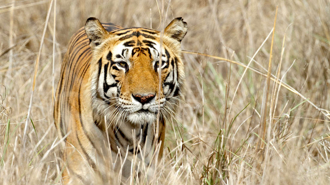 A tiger crouching in tall grass.