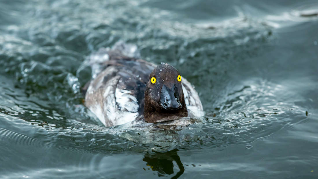 A duck swimming in the water.