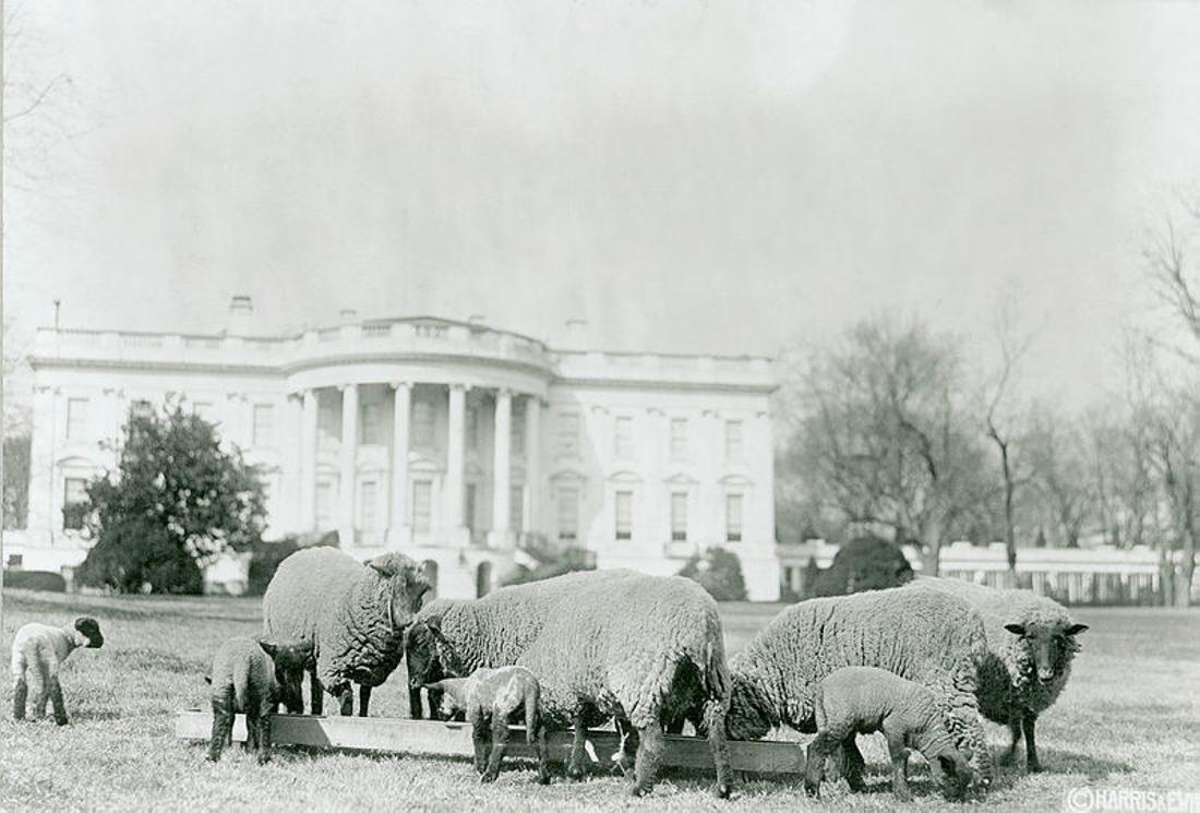 Ein Schwarz-Weiß-Foto von grasenden Schafen auf dem Rasen des Weißen Hauses.
