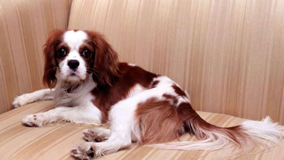 Hund Rex liegt auf einem Sofa.