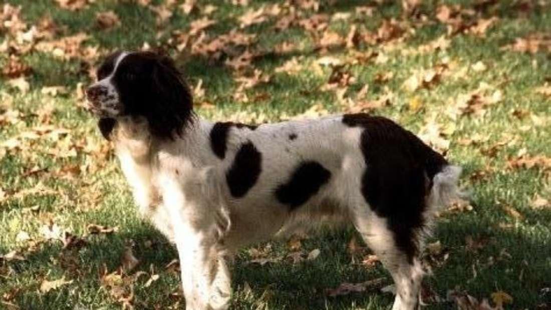Hündin Millie steht auf dem Rasen.