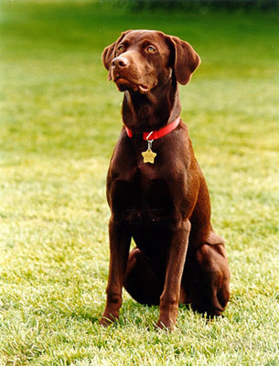 Labrador Retriever Buddy sitzt auf dem Rasen.