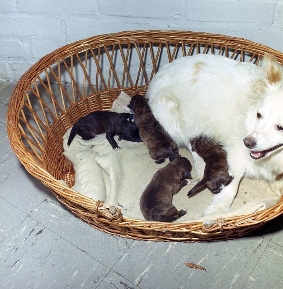 Hündin Pushinka liegt in einem Korb mit ihren neugeborenen Welpen.