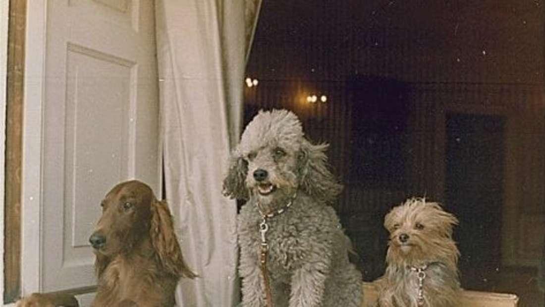 Richard Nixons drei Hunde sehen aus einem Fenster des Weißen Hauses.