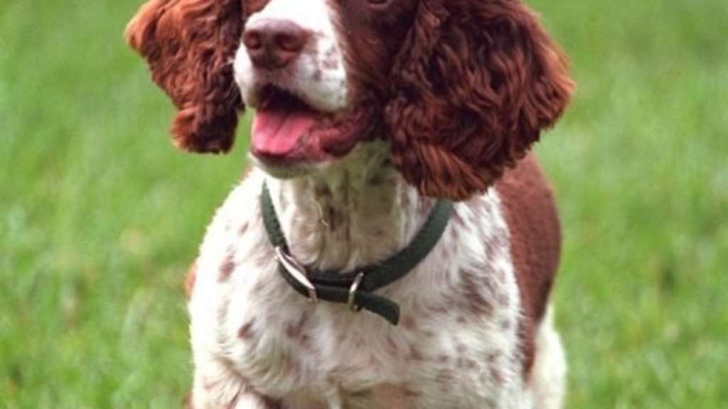 "Der English Springer Spaniel Spot ""Spotty"" Fetcher auf dem Rasen."