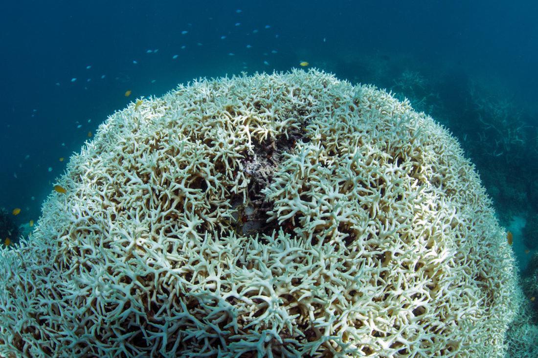 Eine Koralle vor Lizard Island in Australien, März 2016