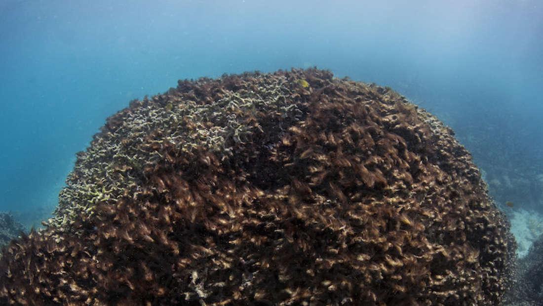Nur zwei Monate später ist die Koralle der Bleiche zum Opfer gefallen.