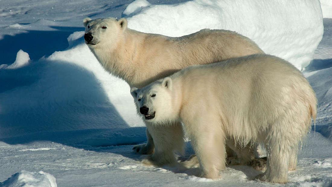 Zwei Eisbären im Schnee