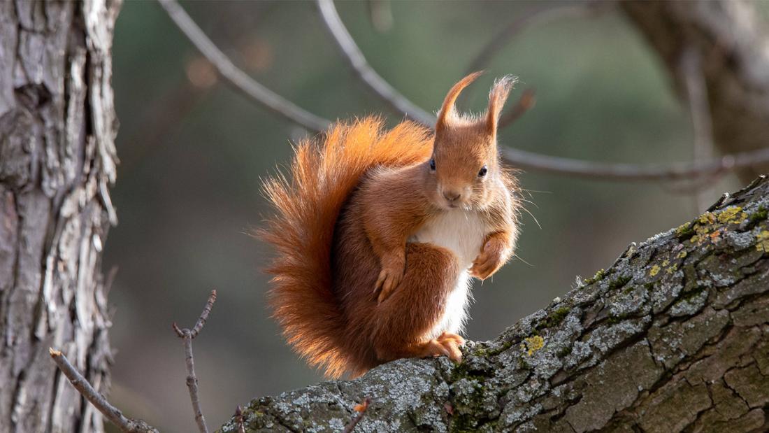 Ein Eichhörnchen auf einem Ast
