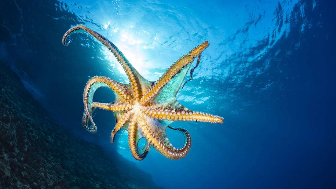 Blau geringelter Oktopus im Wasser