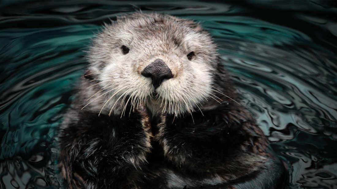 Ein Seeotter im Wasser