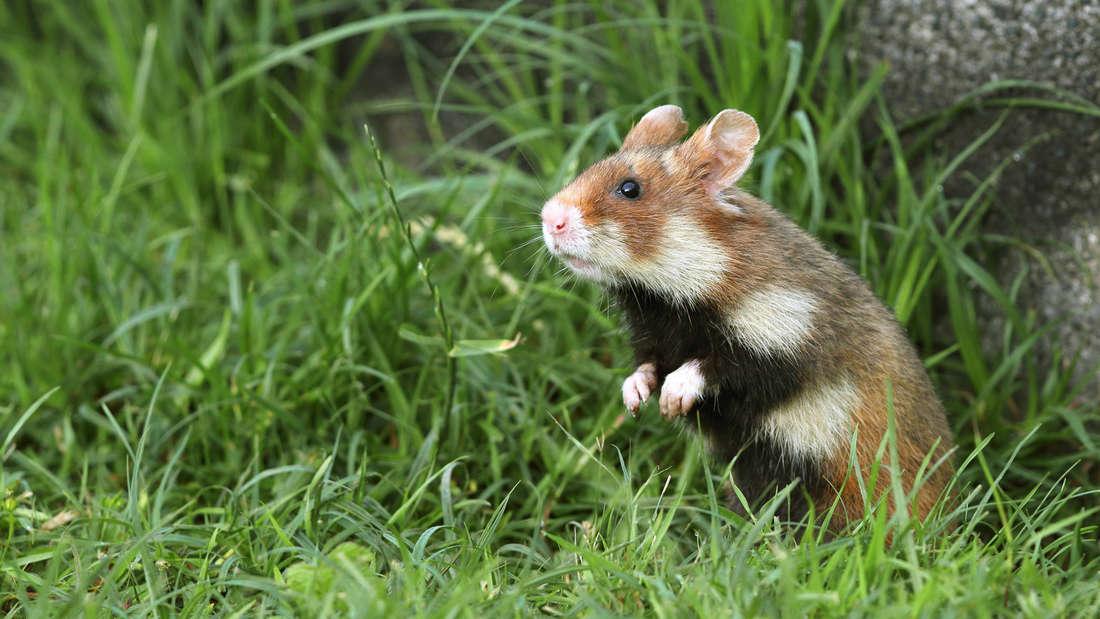 Ein Hamster, der auf einer Grasfläche steht