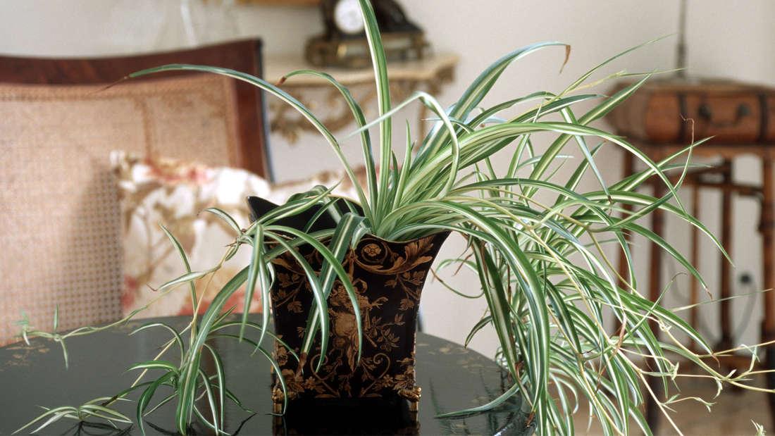 Eine Grünlilie in einem Topf auf einem Tisch, die bereits aus dem Topf herauswächst.