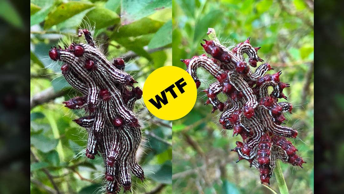 Splitscreen zweier Fotos von den selben Raupen , die sich an einen Zweig klammern. Links sind sie fest an den Zweig geschmiegt, rechts bäumen sie sich auf, weil gegen den Zweig gestupst wurde.