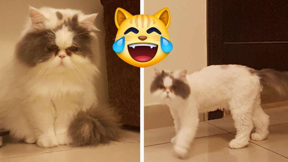 Eine Katze vor und nach ihrem Frisör-Besuch. Auf dem ersten Bild sieht sie sehr fluffig, aber traurig aus und auf dem zweiten hat sie weniger Fell und sie sieht sehr angepisst aus.