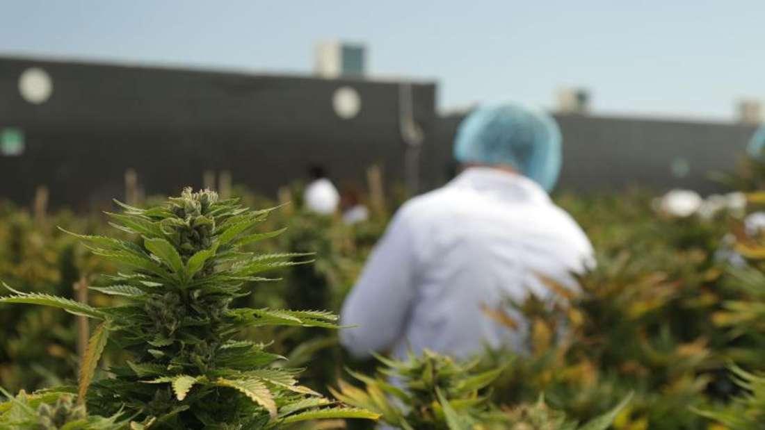 Im Auftrag des Staates:Cannabis-Produktion des Unternehmens International Cannabis Corp in Libertad, Uruguay.