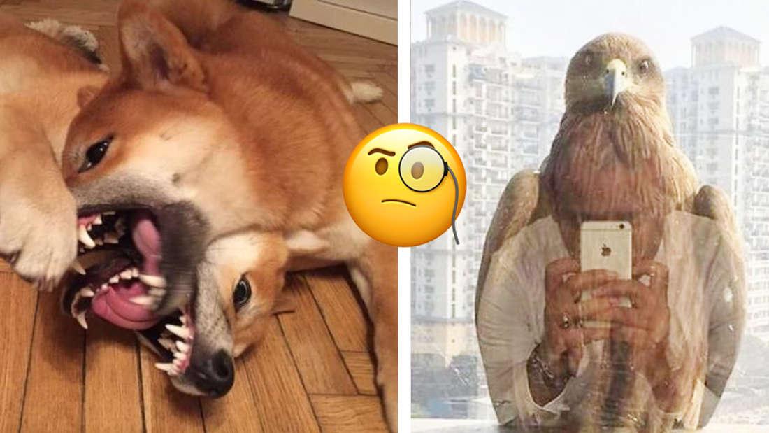 Zwei Hunde, die so miteinander spielen oder kämpfen, dass es aussieht, als wären sie ineinander verhakt und ein Falke, der aussieht, als würde er ein Foto machen. In der Mitte ein Emoji mit einem Monokel, das fragend aussieht.