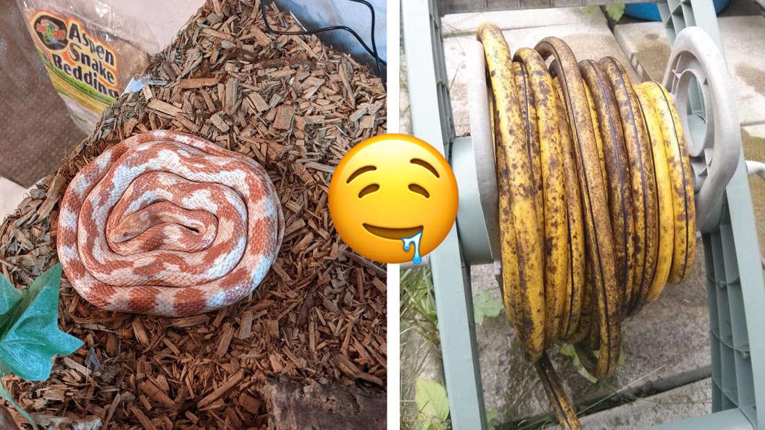 Eine in ihrem Gehege zusammengerollte Schlange, die aussieht wie eine Zimtschnecke und ein aufgerollter gelber Schlauch mit Flecken, der wie eine Banane aussieht.