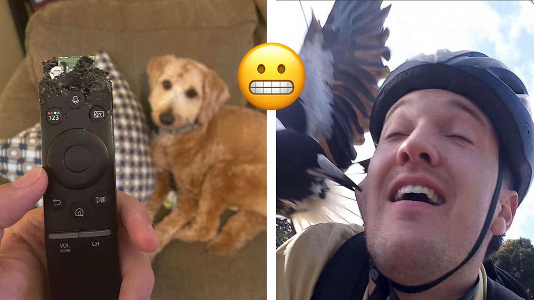 Eine zerstörte Fernbedienung, die in die Kamera gehalten wird. Dahinter ein Hund auf einem Sofa. Daneben ein Bild von einem Mann, der gerade von einem Vogel gebissen wird. In der Mitte ein Emoji, das die Zähne zusammenbeißt.
